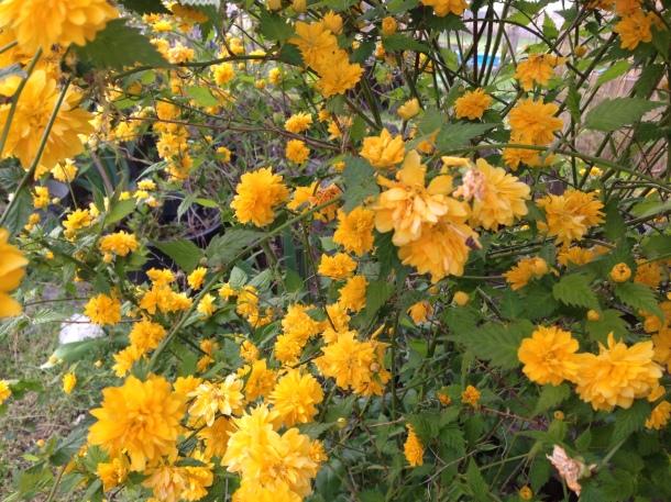My beautiful Kerria bush